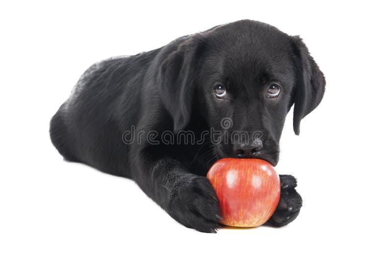 Perrito negro del laboratorio, dos meses imagen de archivo libre de regalías