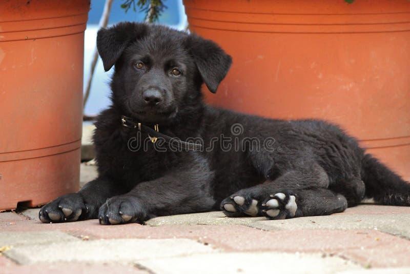 Perrito negro del pastor alemán foto de archivo libre de regalías