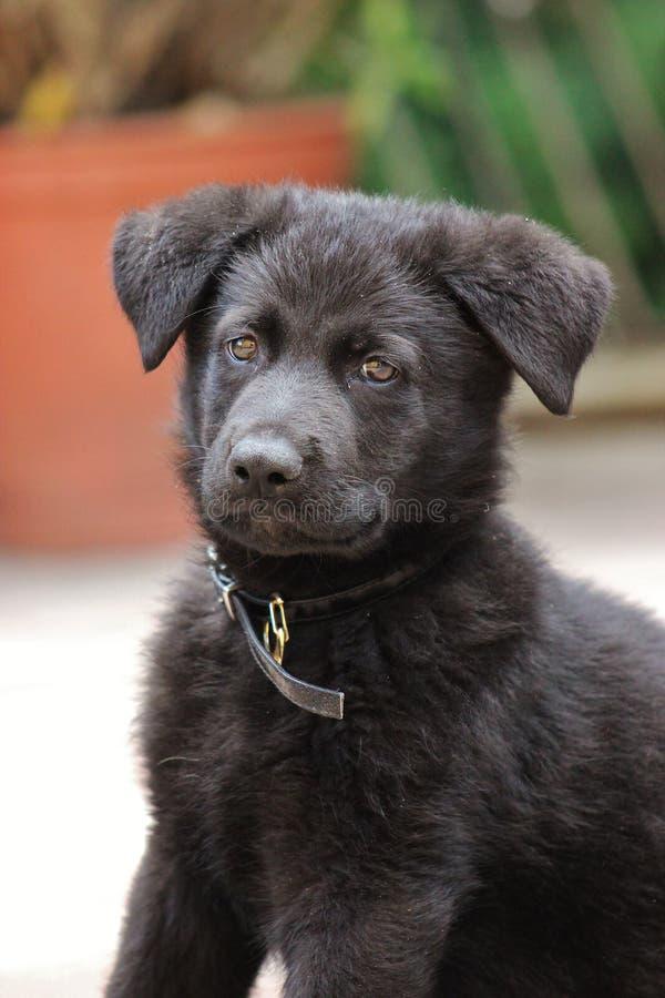 Perrito negro del pastor alemán fotografía de archivo