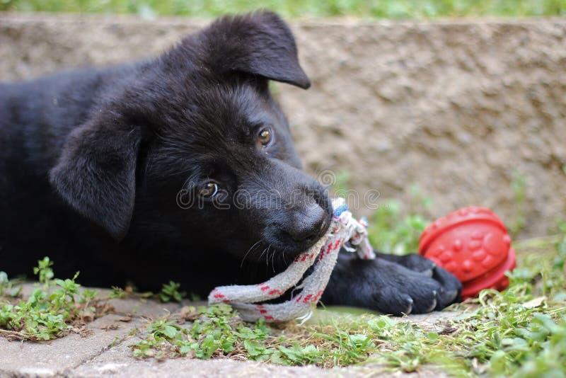 Perrito negro del pastor alemán fotos de archivo
