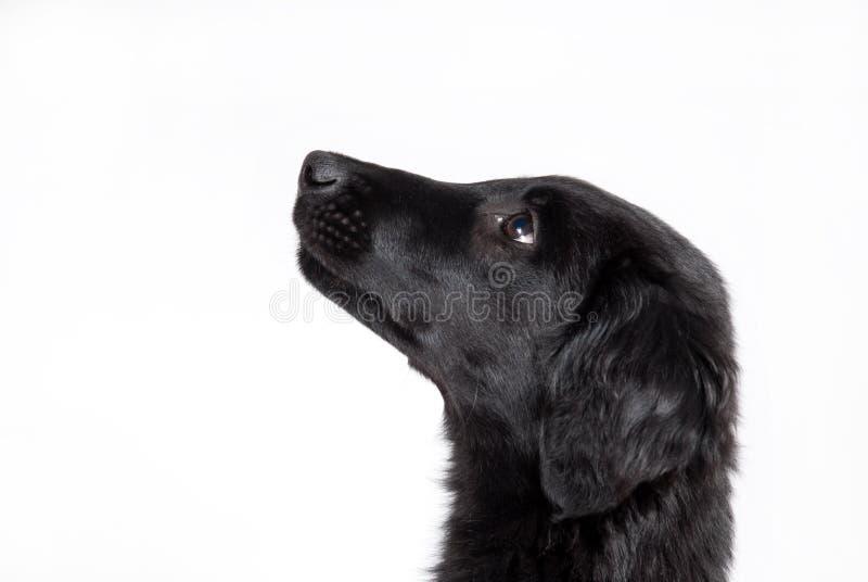Perrito negro observador imagen de archivo libre de regalías
