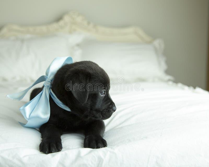 Perrito negro s?lido con miradas azules de la cinta de sat?n de la pantalla mientras que pone en cama fotos de archivo libres de regalías