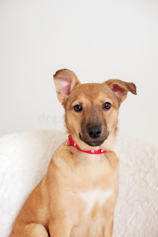 Perrito pelirrojo en un cuello rojo imagen de archivo libre de regalías