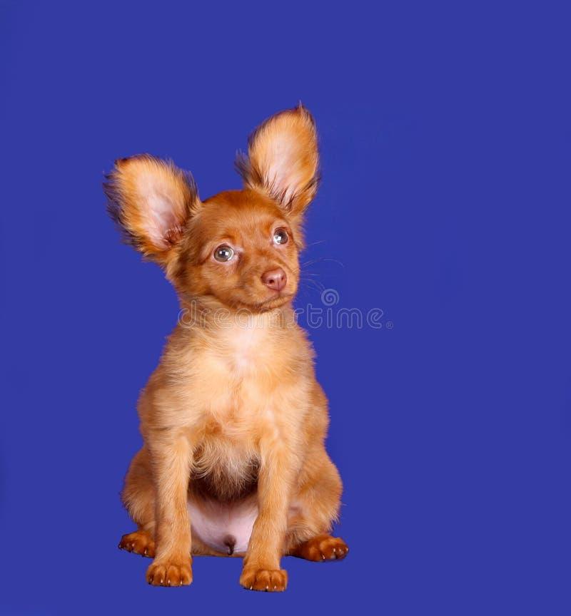 Perrito pelirrojo hermoso que se sienta en un fondo azul fotografía de archivo libre de regalías