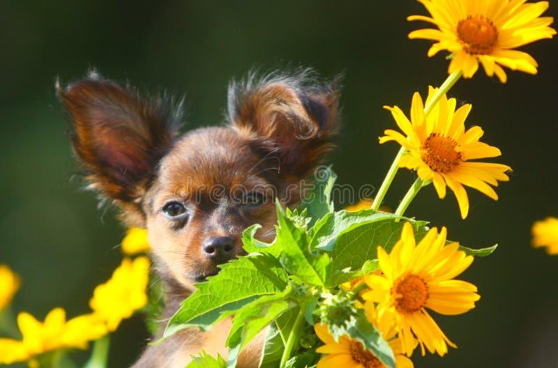 Perrito pelirrojo lindo que presenta con un ramo de flores amarillas Pequeño perro hermoso en un fondo borroso fotos de archivo libres de regalías