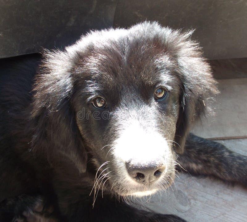 Perrito, perro, border collie, descansando fotografía de archivo libre de regalías