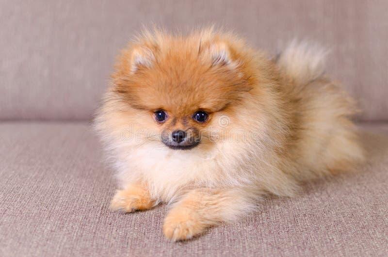Perrito pomeranian mullido adorable que miente en el sofá foto de archivo