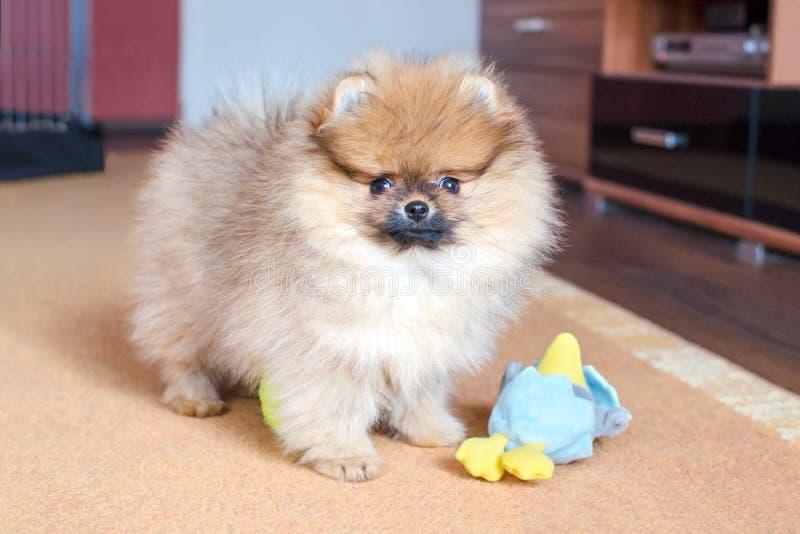 Perrito pomeranian mullido adorable que se coloca con un juguete en casa fotos de archivo