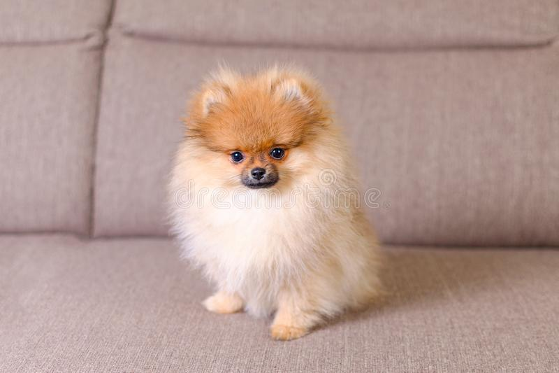 Perrito pomeranian mullido adorable que se sienta en el sofá imagen de archivo libre de regalías