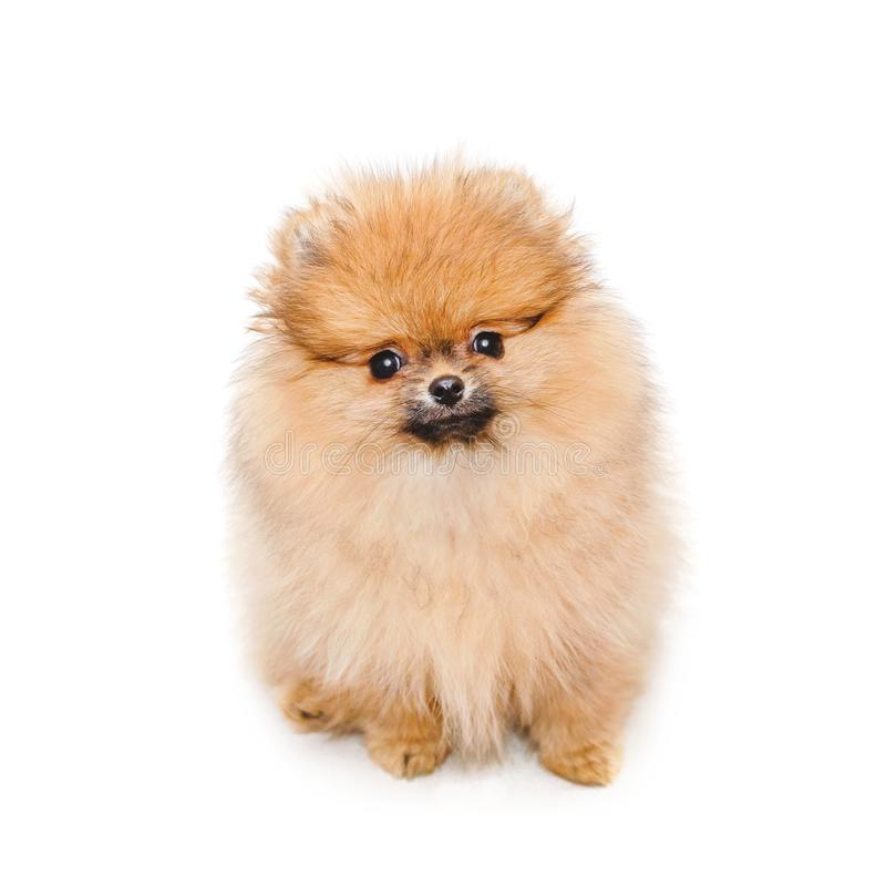 Perrito pomeranian mullido, pequeño perro aislado en blanco fotos de archivo libres de regalías
