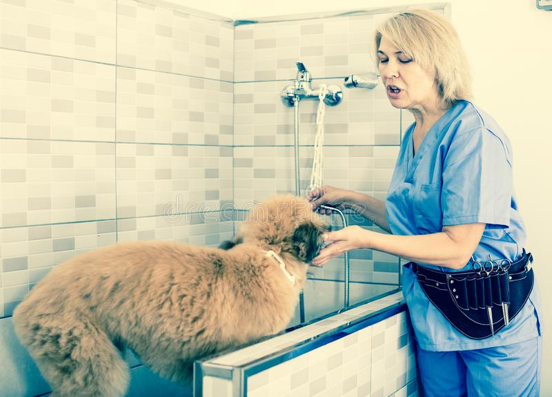 Perrito profesional del lavado en el salón de pelo para los animales fotografía de archivo libre de regalías