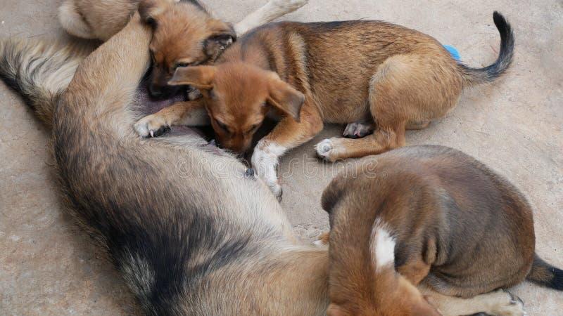 Perrito que chupa en el pecho del perrito imagen de archivo libre de regalías