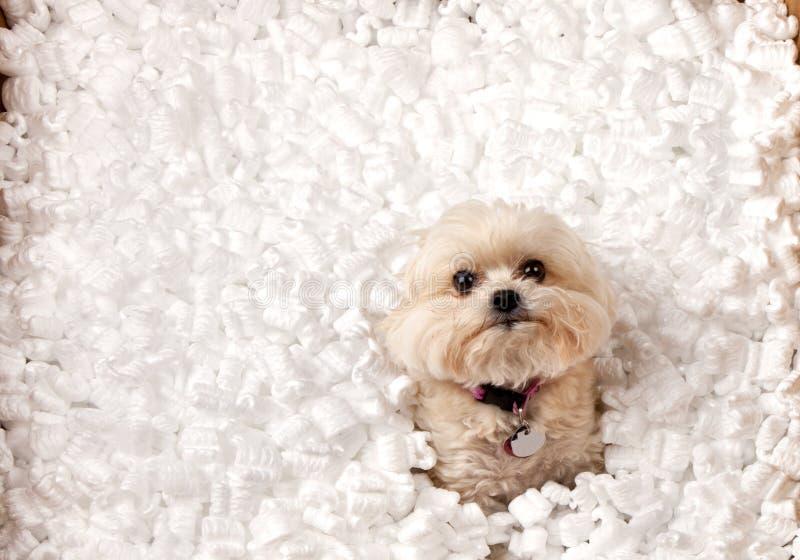 Perrito que juega en cacahuetes del embalaje fotografía de archivo libre de regalías