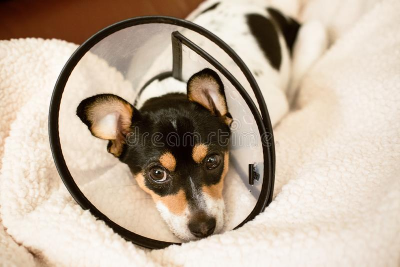Perrito que lleva un cono claro del cuello de perro de la vergüenza fotos de archivo