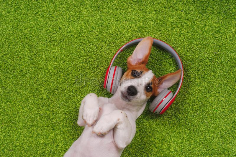 perrito que miente en la alfombra verde y escuchar la música en los auriculares imágenes de archivo libres de regalías