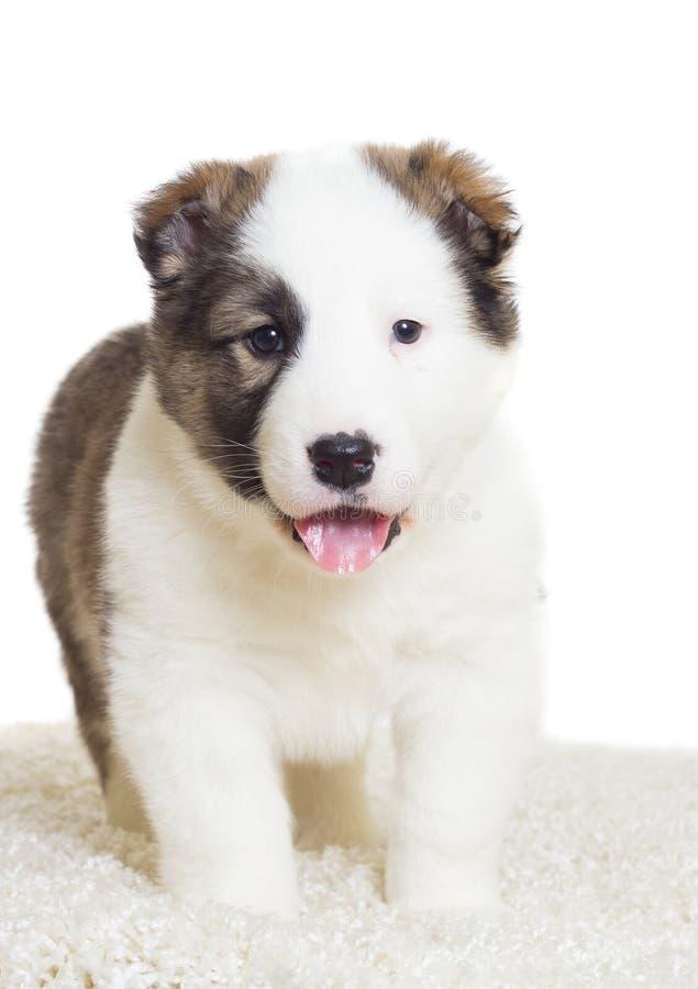 perrito que se coloca en una alfombra mullida imagen de archivo