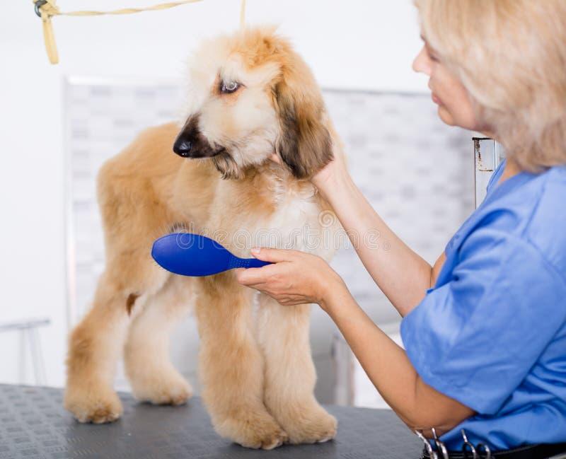 Perrito que se peina profesional en peluquero foto de archivo libre de regalías