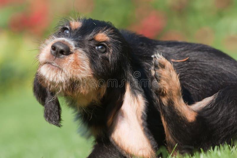 Perrito que se rasguña detrás del oído imágenes de archivo libres de regalías