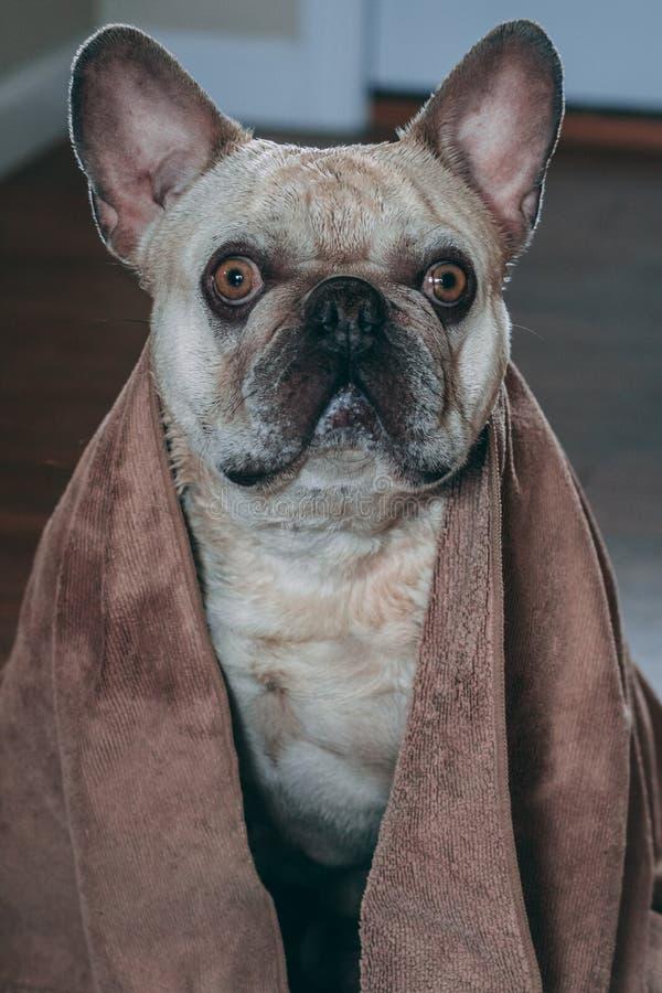 Perrito que se seca apagado después de un baño foto de archivo