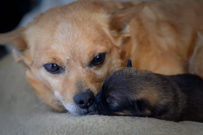 Perrito recién nacido con la madre El concepto de instinto maternal fotografía de archivo