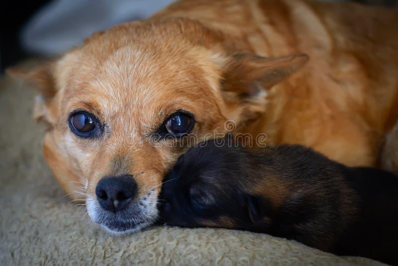 Perrito recién nacido con la madre El concepto de instinto maternal fotos de archivo