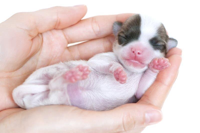 Perrito recién nacido minúsculo de la chihuahua en las palmas imágenes de archivo libres de regalías