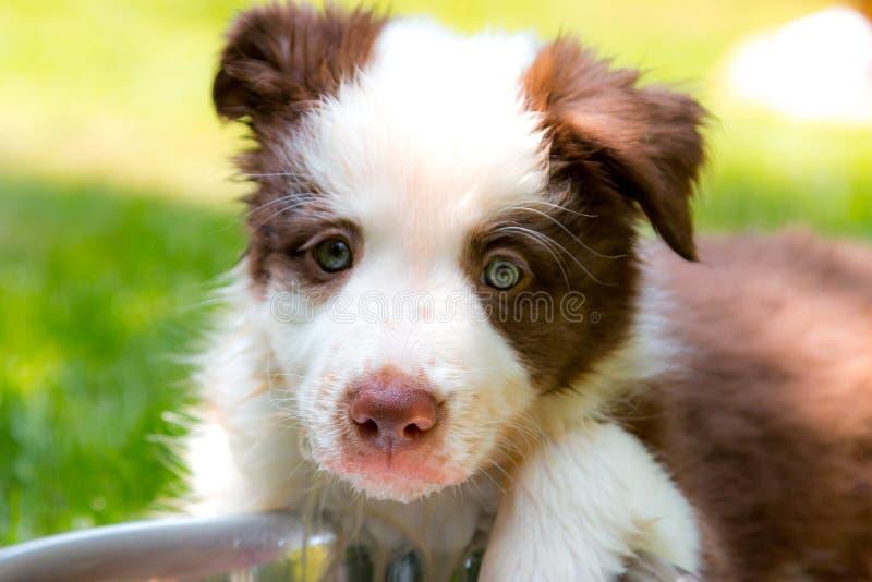 Perrito rojo del border collie foto de archivo libre de regalías