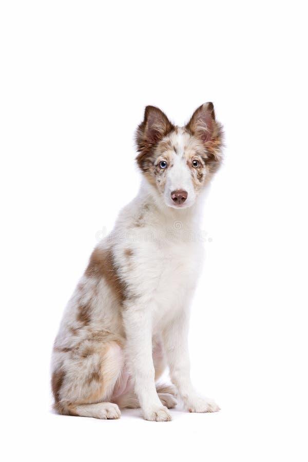 Perrito rojo del border collie del merle imagen de archivo libre de regalías