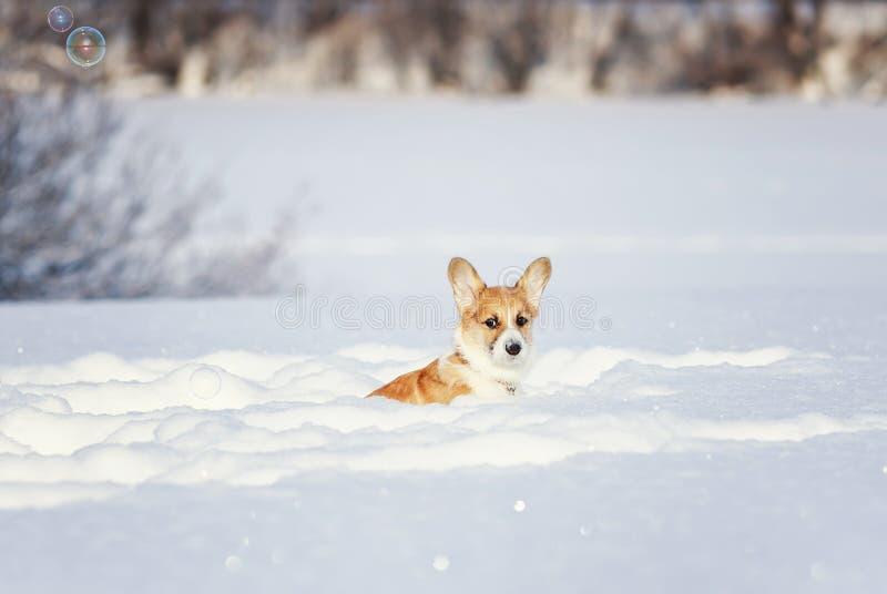 Perrito rojo del Corgi que se sienta en nieves acumulada por la ventisca blancas profundas en invierno en un parque en un día sol imágenes de archivo libres de regalías