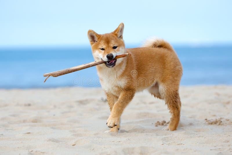 Perrito rojo del inu del shiba que juega en la playa imagen de archivo