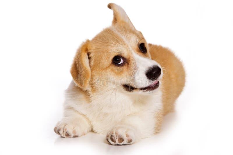 Perrito rojo divertido del pembroke del corgi galés del perro imagen de archivo libre de regalías