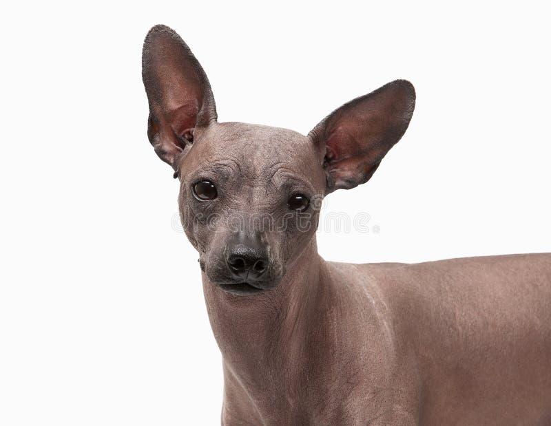 Perrito sin pelo mexicano en blanco foto de archivo