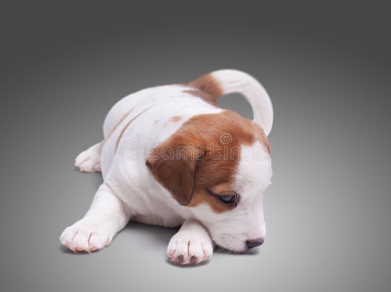 Perrito solitario triste Jack Russell fotos de archivo libres de regalías
