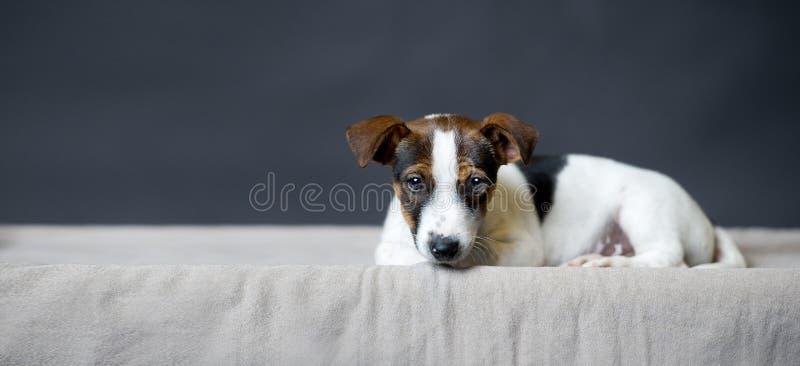 Perrito solo de Jack Russell Terrier que miente delante de fondo gris fotografía de archivo
