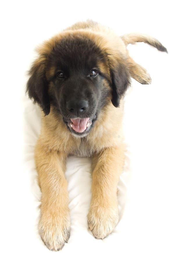 Perrito sonriente imagen de archivo libre de regalías