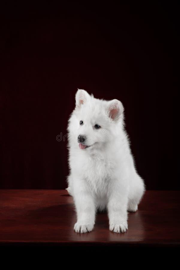 Perrito suizo blanco del pastor fotos de archivo