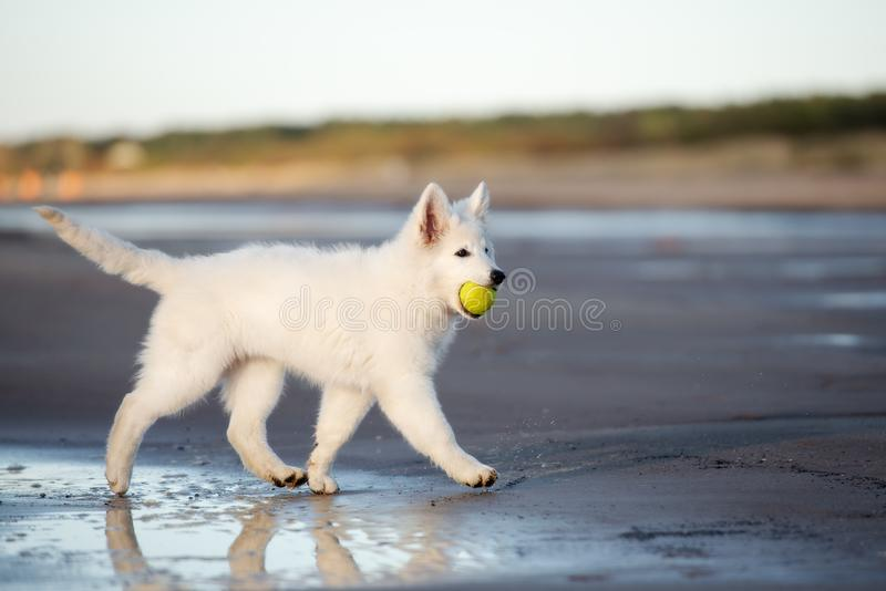 Perrito suizo blanco del pastor en la playa imagen de archivo libre de regalías