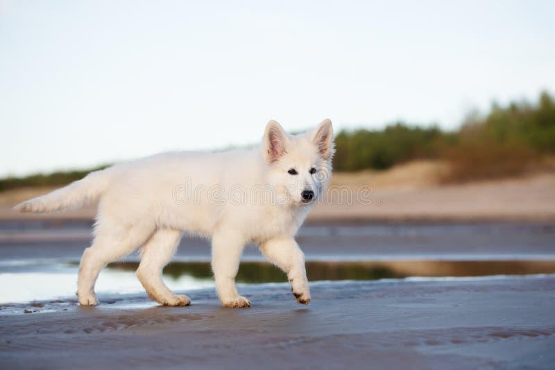 Perrito suizo blanco del pastor en la playa imagenes de archivo