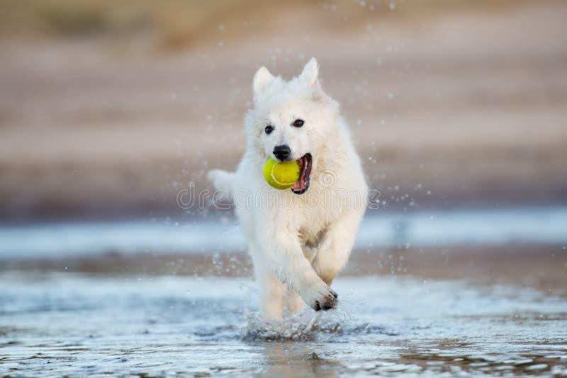 Perrito suizo blanco del pastor en la playa fotos de archivo