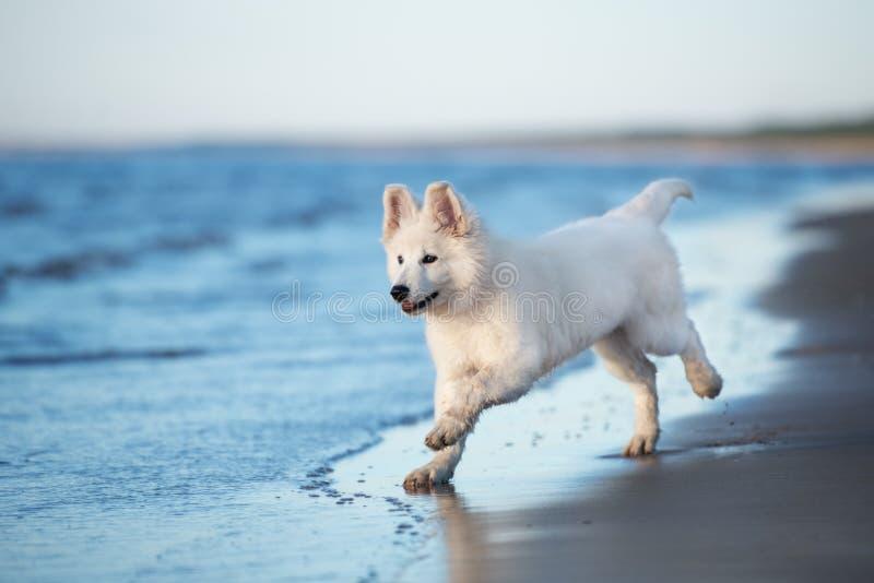 Perrito suizo blanco del pastor que juega en la playa imagenes de archivo
