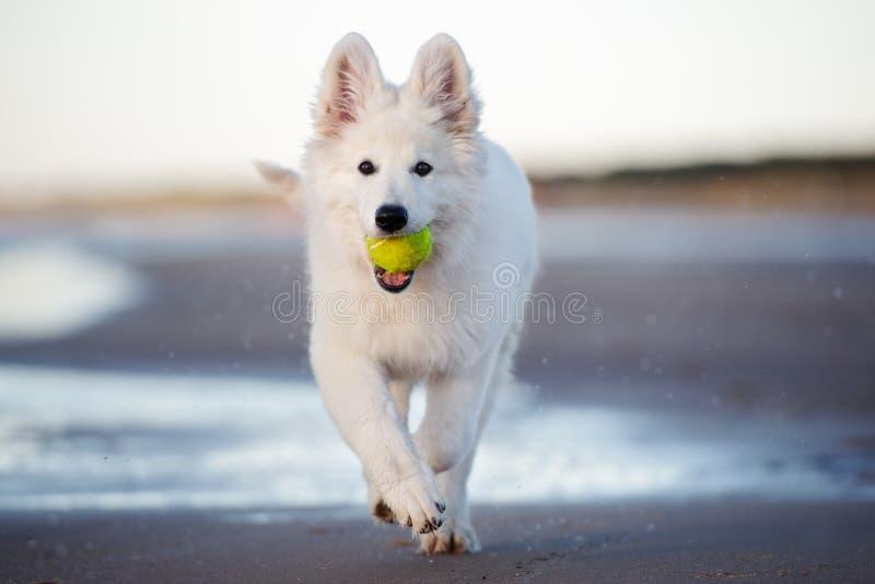 Perrito suizo blanco del pastor que juega en la playa foto de archivo libre de regalías