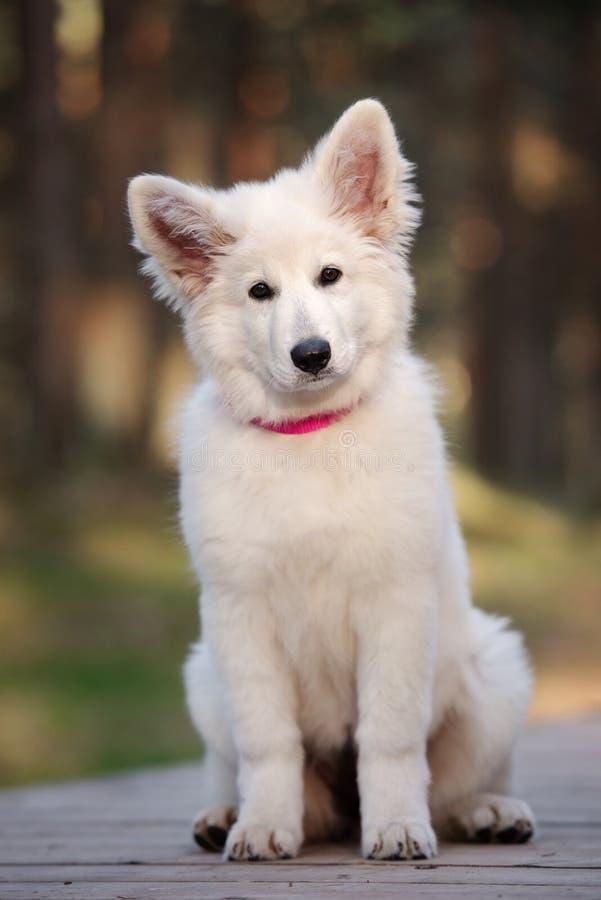 Perrito suizo blanco del pastor que presenta al aire libre fotografía de archivo
