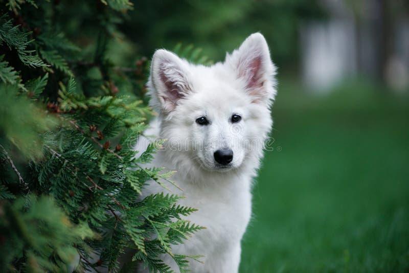 Perrito suizo blanco del pastor que presenta al aire libre fotos de archivo libres de regalías