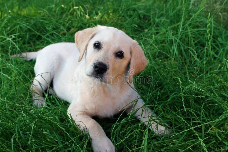 Perrito tombed cachorrinho de labrador retriever imagens de stock