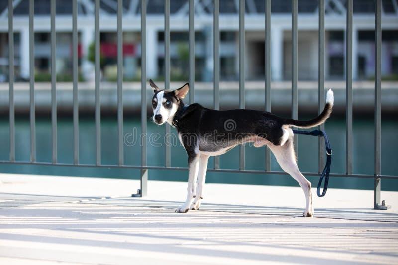 perrito Tres-legged con iridis del heterochromia imagenes de archivo
