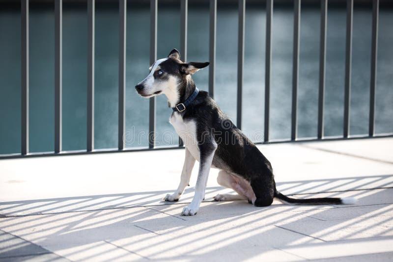 perrito Tres-legged con iridis del heterochromia foto de archivo libre de regalías
