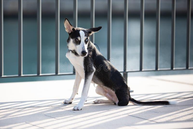 perrito Tres-legged con iridis del heterochromia fotografía de archivo libre de regalías