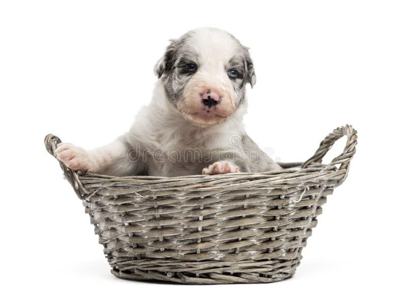 perrito viejo del híbrido de 21 días en una cesta fotografía de archivo