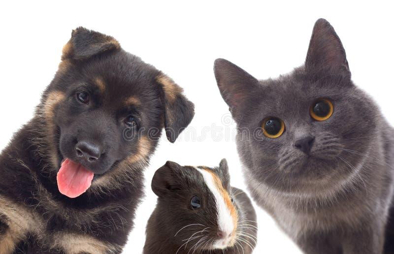 Perrito y gatito y conejillo de Indias fotos de archivo libres de regalías