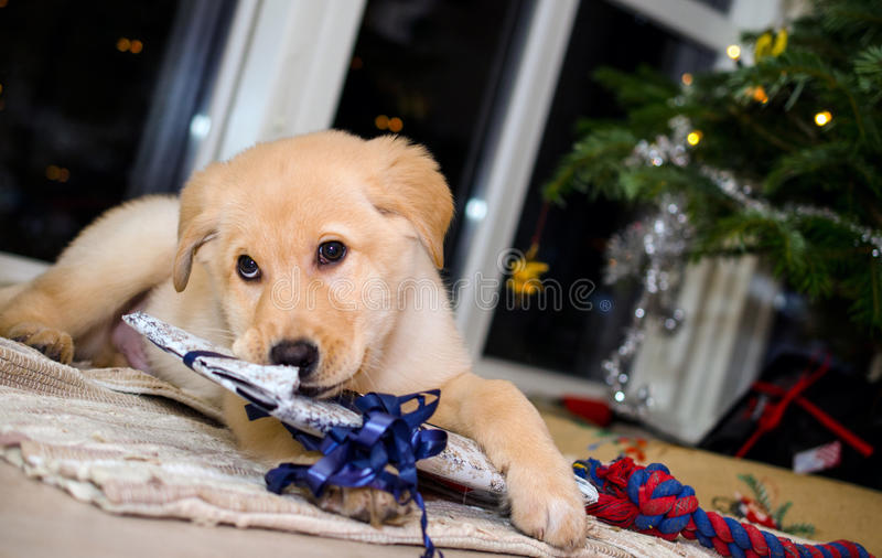 Perrito y la Navidad 3 fotografía de archivo
